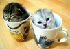 Kittens-in-some-cups-animal-humor-45323_450_302